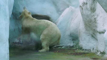 terrestre : polar bear walking around, zoo animal behavior, the walk of white polar bear, Vulnerable animal specie from the arctic coast
