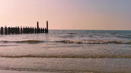 the ocean of domburg during sunset, wooden wave breaker poles with seagulls, Dutch beach scenery, nature background video