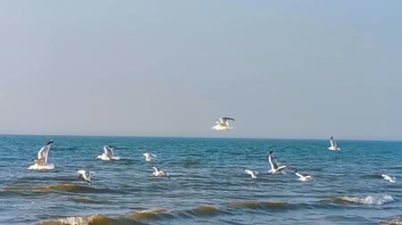 Flock of seagulls flying in the air at the beach, common and invasive bird specie from Europe