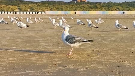closeup of a seagull preening its feathers, flock of seagulls together on the beach, common and invasive bird specie from Europe Dostupné videozáznamy