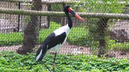 necked : closeup of a saddle billed stork, tropical bird specie from Africa Stock Footage