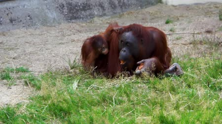 northwest bornean orangutan eating together with its infant, critically endangered primate specie from Indonesia
