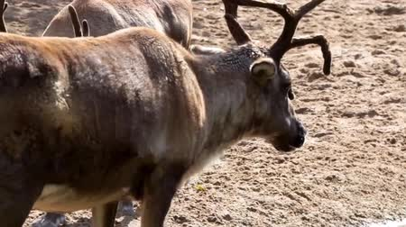 geyik : Closeup of a reindeer standing at the water side then walking fits another reindeer, tropical animal specie from America Stok Video