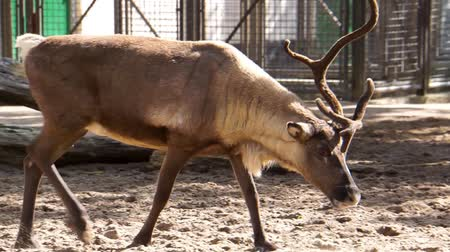 closeup of a reindeer walking by the camera, tropical animal specie from America
