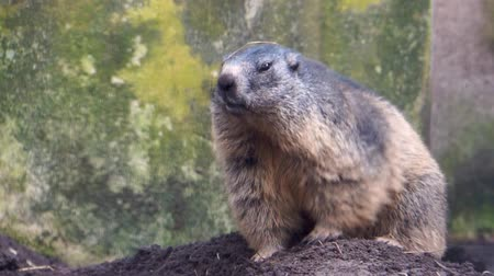 closeup of an alpine marmot sitting and scratching, squirrel specie from the mountains of europe
