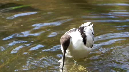 closeup of a pied avocet wading in the water, coastal bird specie from Eurasia