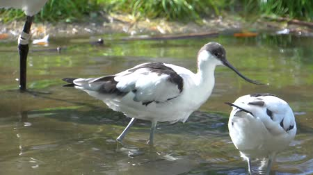 two pied avocet birds wading together in the water, water bird specie from Eurasia