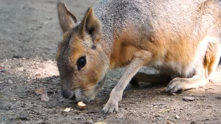 closeup of a patagonian mara eating a nut, the face of a large cavy, near threatened rodent specie from America