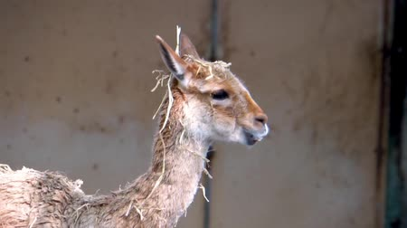 closeup of the face of a vicuna eating hay, adorable llama specie from Peru