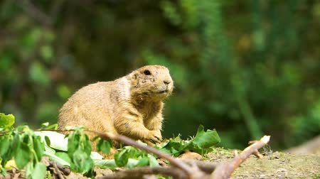 closeup of a black tailed prairie dog eating leaves, cute rodent specie from America