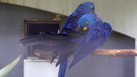 sümbül : closeup of a hyacinth macaw preening its feathers, typical bird behavior, tropical blue parrot specie from South America