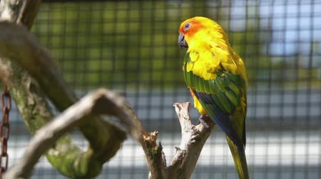 kuşçuluk : closeup of a sun parakeet sitting on a tree branch in the aviary, colorful and tropical bird from America, Endangered animal specie