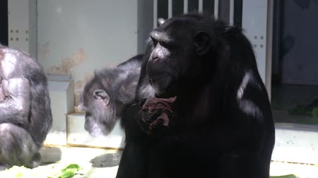 closeup of a chimpanzee eating food, zoo animal feeding, Common adult chimpanzee, Endangered animal specie from Africa Vídeos