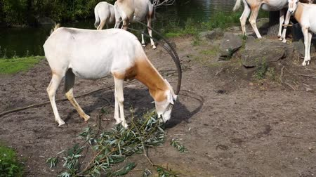 animais em extinção : scimitar oryx eating leaves or a tree branch, antelope specie that is extinct in the wild