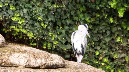 predatory bird : gray heron sitting on the water side and preening its feathers, common coastal bird specie from Europe Stock Footage