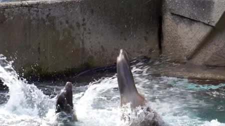 california sea lion feeding, Seals jumping above the water and eating fish, eared seals specie from America Stockvideo