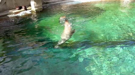 terrestre : California sea lion swimming in the water, eared seal specie from America