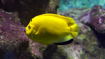 closeup of a danger spot angelfish swimming underwater, big vibrant yellow fish, tropical aquarium pets
