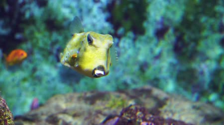 closeup of a longhorn cowfish, vibrant yellow horned fish with white dots, popular and funny aquarium pets