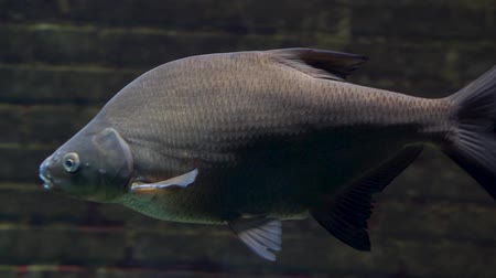 verdadeiro : closeup of a big common bream swimming by, popular carp specie from Europe, fresh water fish
