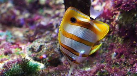 banded : closeup of a copperband butterflyfish swimming underwater, tropical fish specie from the pacific and indian sea