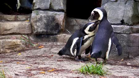 african penguin couple preening each other, intimate and social bird behavior, Endangered animal specie from Africa