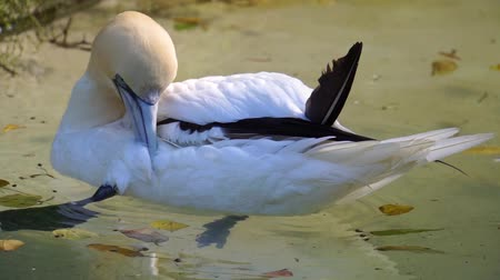 aves marinhas : gannet preening its feathers in the water, typical bird behavior, common animal specie Europe and america
