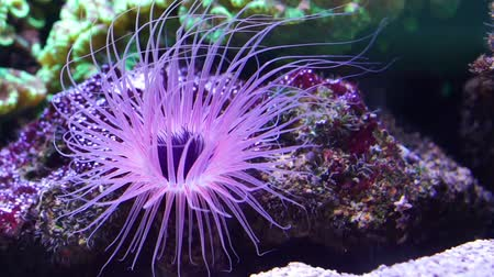Closeup of a flower tube sea anemone shining purple light underwater, tropical animal specie from indo-pacific ocean Dostupné videozáznamy