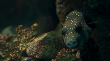 karakurbağası : closeup of a white spotted puffer fish swimming under water, tropical aquarium pet from the pacific ocean
