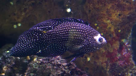 melez : closeup of a white spotted cichlid, tropical aquarium cap, Beautiful exotic fish specie Stok Video