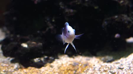juvenile white cichlid fish with a black blotch, tropical aquarium pet swimming underwater Vídeos
