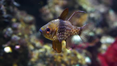 closeup of a pajama cardinalfish, popular aquarium cap from the pacific ocean