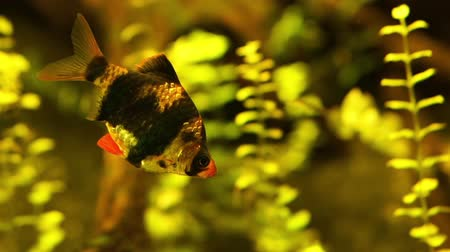 closeup of a Tiger barb, tropical fish specie from Indonesia, popular pet in aquaculture Dostupné videozáznamy