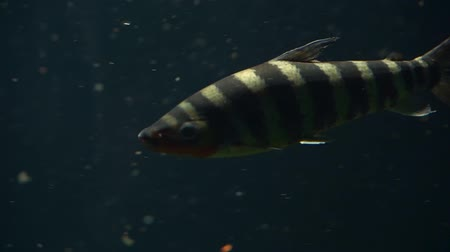 closeup of a black banded leporinus swimming underwater, tropical fresh water fish specie from the amazon basin of america Dostupné videozáznamy