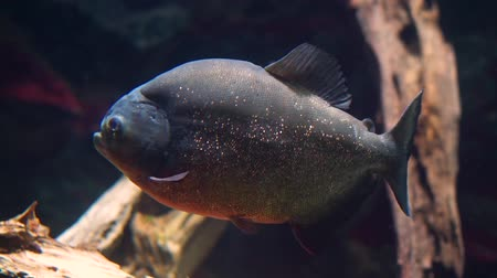 red bellied : closeup of a red bellied piranha, fish with beautiful glittery scales, tropical animal specie from the Amazon Basin of America