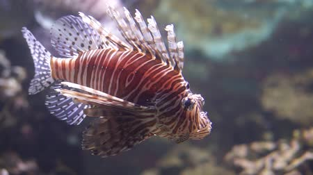 closeup of a red lionfish swimming under water, popular tropical fish specie from the indo pacific ocean