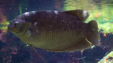 funny closeup or a giant gourami, popular tropical fresh water fish specie from Asia