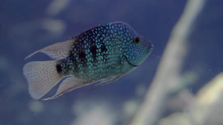 closeup of a turquoise texas cichlid swimming in the water, Beautiful and colorful aquarium cap, tropical fish specie from Rio Grande Stockvideo