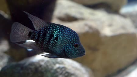 banded : beautiful blue spotted texas cichlid, Colorful aquarium cap, tropical fish specie from Rio Grande Stock Footage