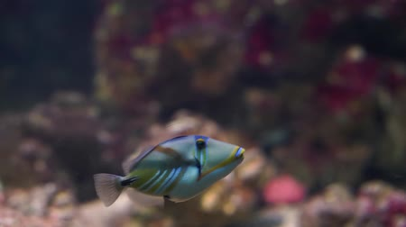 salt lagoon : picasso triggerfish swimming under water, popular aquarium cap in aquaculture, colorful tropical fish specie Stock Footage