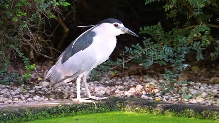 small heron : closeup of a black crowned night heron standing on the water side, common Bird specie from Eurasia