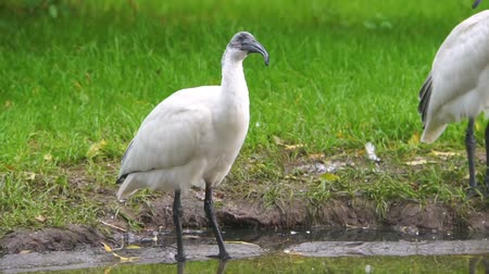 necked : closeup of a black headed oriental white ibis looking around, Near threatened bird specie from Indonesia Stock Footage