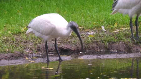 waders : black headed oriental white ibis drinking water, Near threatened animal specie from Indonesia Stock Footage