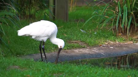 brodění : closeup of a eurasian spoonbill preening its feathers, common bird specie from Eurasia Dostupné videozáznamy