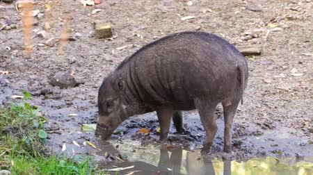 świnia : pig grubbing in the mud, typical wild boar behavior, critically endangered animal specie from the philippines