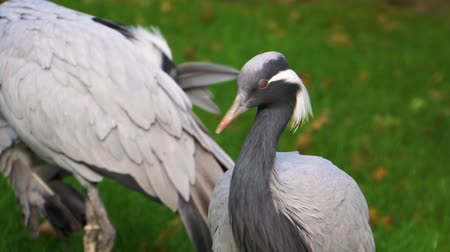 necked : closeup of a demoiselle crane looking around and then preening its feathers, popular bird specie from Eurasia