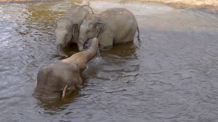 mother cow : Asian elephant mother bathing with her kids and spraying water, Elephants in the water, Endangered animal specie from Asia