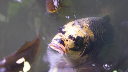 libra : closeup of a European carp swimming with its mouth above water, funny fish behavior, Vulnerable animal specie