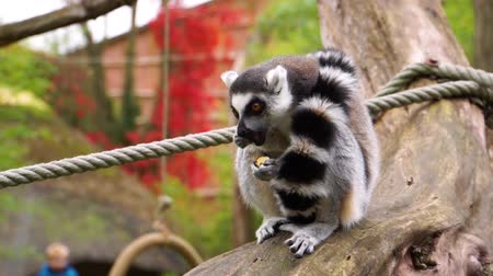 madagaskar : adorable closeup of a ring tailed lemur eating a nut, primate diet, endangered animal specie from madagascar