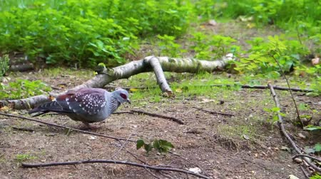 rock dove : speckled pigeon walking and searching for food, typical bird behavior, tropical animal specie from Africa